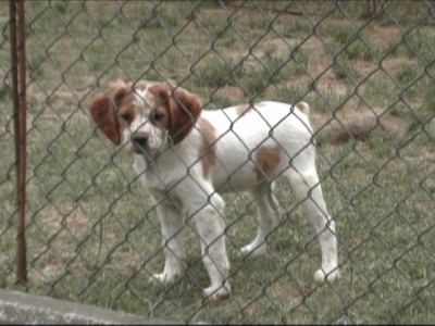 Brittany Spaniels And Cats a Baby Brittany Spaniel